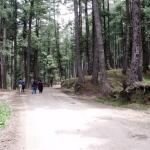 Pahalgam Pinewoods