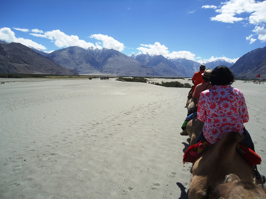 Two-Humped-Bactrian-Camel-Safari-At-Hunder-Desert-In-Nubra-Valley-Ladakh-India