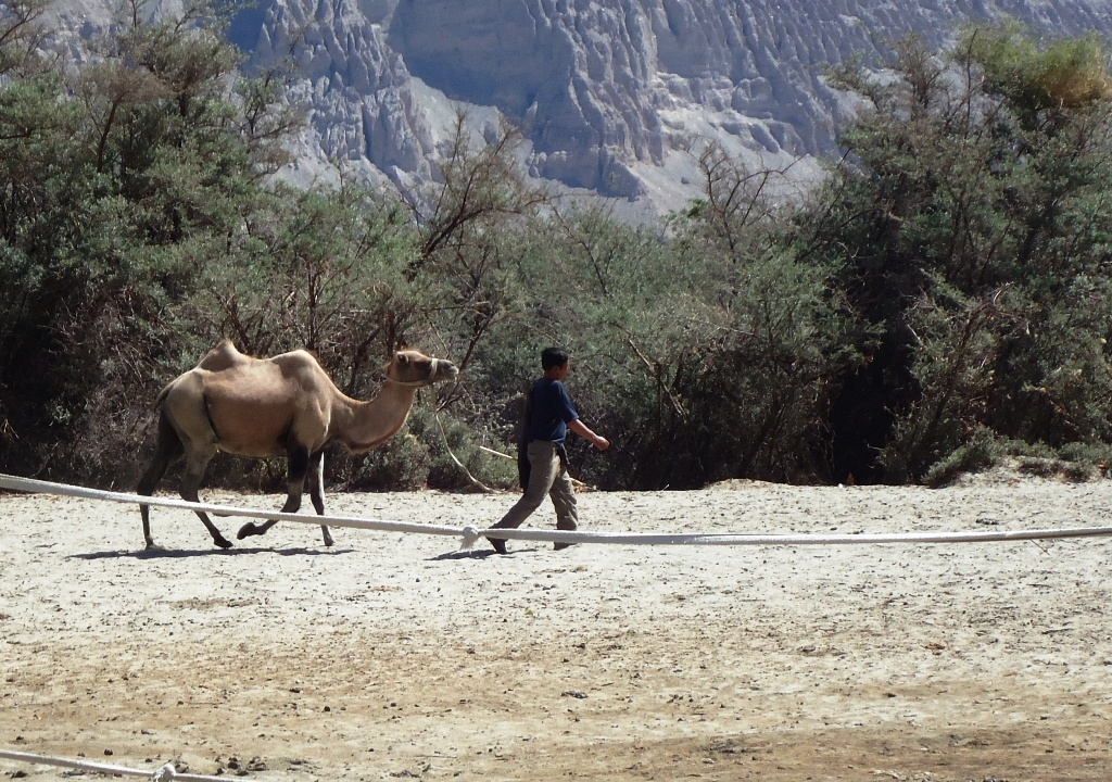 Two-Humped-Bactrian-Camel-At-Hunder-Desert-In-Nubra-Valley-Ladakh-India