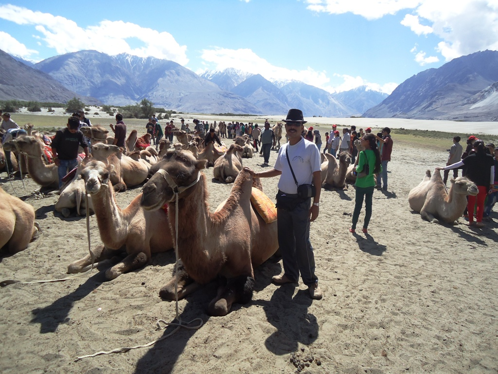 Two-Humped-Bactrian-Camels-for-Safari-At-Hunder-Desert-In-Nubra-Valley-Ladakh-India